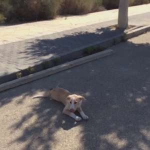 Miraculously found 85Km away in Huercal de Almeria 4 month old puppy named Candi
