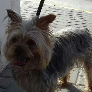 Found: Yorkshire Terrier in Vera Playa