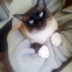 Lost: Siamese cat
