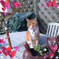 Lost: Ginger Tom cat went missing on the afternoon on the 19th of December in AVDA Las Estrellas